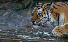 Picture face, water, tiger, paw, wild cat
