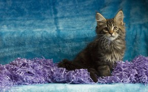 Picture cat, look, pose, paper, kitty, grey, muzzle, sitting, blue background, Maine Coon, Studio