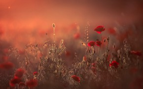 Picture field, summer, light, flowers, nature, stems, glade, Mac, Maki, blur, the evening, meadow, red, buds, …