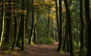 Picture autumn, forest, light, trees, branches, nature, alley, path