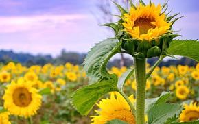 Picture field, sunflower, petals