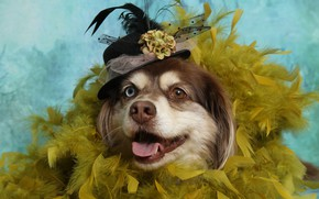 Picture dog, feathers, hat