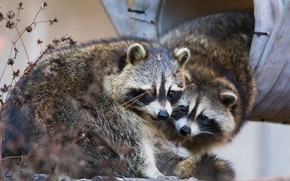 Picture look, face, nature, pose, background, shelter, pair, raccoon, house, a couple, two, zoo, bokeh, raccoons, …