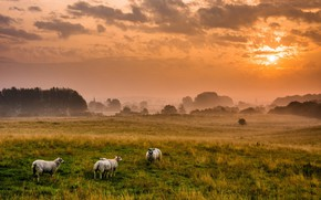 Picture field, sunset, sheep