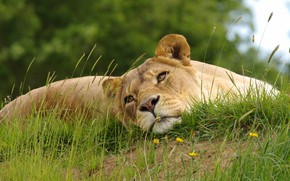 Picture grass, face, pose, stay, hill, lies, lioness