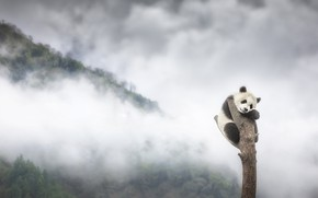 Picture forest, mountains, fog, tree, baby, bear, Panda, bear, bitches