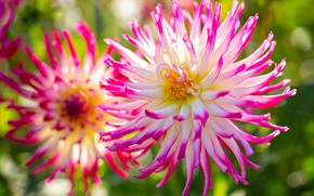 Picture macro, petals, bokeh, dahlias