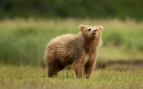Wallpaper field, summer, grass, look, face, nature, pose, green, background, glade, baby, bear, meadow, bear, bear, ...