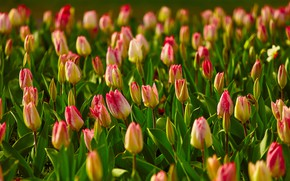 Picture greens, light, flowers, spring, tulips, a lot, bokeh, plantation, striped, two-tone, red-yellow, Tulip field