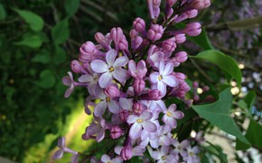 Picture lilac, happy, lilac, five -