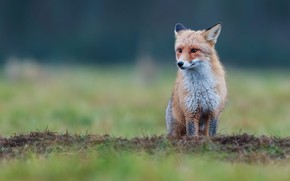 Picture grass, look, glade, Fox, sitting