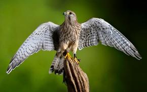 Picture bird, wings, predator, Kestrel