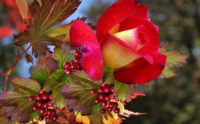 Picture autumn, Rose, Kalina