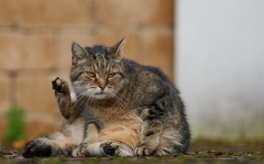 Picture cat, pose, paws