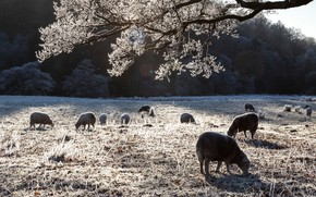 Picture winter, frost, sheep, pasture, sheep, the herd