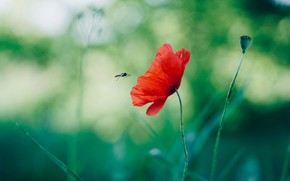 Picture flower, red, green, bee, background, Mac, insect