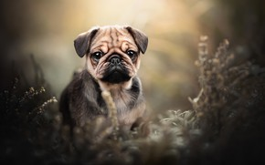 Picture look, dog, face, bokeh, doggie, Pug