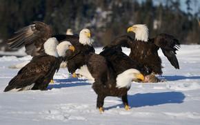 Picture snow, birds, pack, bald eagle, predatory, bald eagles