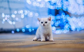 Picture cat, white, kitty, baby, kitty, blue background, bokeh