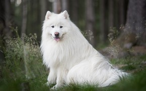 Picture look, nature, Samoyed