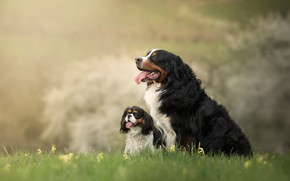 Picture nature, background, dog, puppy, mom, Bernese mountain dog