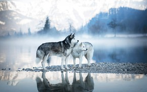 Picture winter, forest, dogs, look, mountains, nature, pose, fog, lake, reflection, stones, shore, tops, two, pair, …