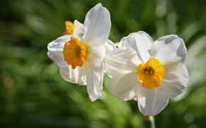 Picture light, flowers, background, blur, spring, white, daffodils, bokeh