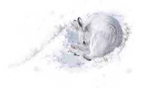 Picture winter, white, snow, background, hare, curled up