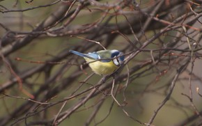 Picture branches, bird, tit, blue tit, tree