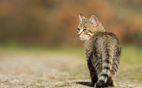 Picture cat, cat, look, light, nature, pose, kitty, grey, background, walk, kitty, striped, teen