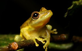 Picture look, macro, frog, branch, black background, yellow