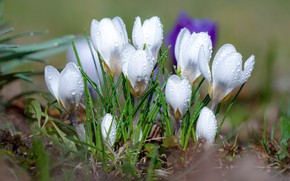 Picture water, drops, flowers, nature, spring, crocuses, primroses