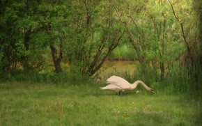 Picture greens, white, summer, grass, trees, branches, nature, pond, background, thickets, bird, shore, foliage, treatment, Swan, …