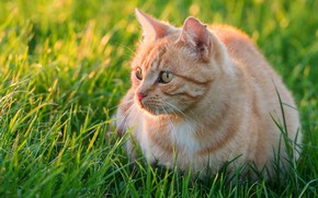 Picture cat, summer, grass, look, kitty, red, kitty
