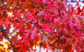 Picture red, autumn, leaves, autumn, leaves, tree, colorful, maple, autumn, maple