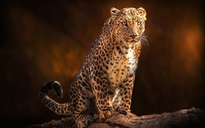 Picture look, face, pose, the dark background, leopard, sitting