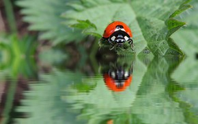 Picture water, macro, reflection, ladybug, beetle