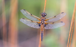 Picture macro, nature, background, dragonfly, stem, insect, wings, bokeh