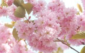 Picture flowers, branch, Sakura, pink