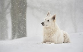 Picture winter, forest, snow, dog, snowfall, Swiss shepherd dog