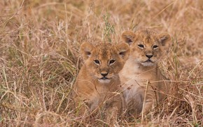 Picture grass, kittens, the cubs, a couple, cubs