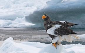 Picture water, snow, bird, hawk, hishnik, Steller's sea eagle