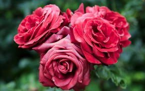 Picture flowers, roses, trio, red roses