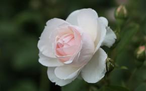 Picture macro, tenderness, rose, petals