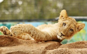 Picture look, face, pose, stones, background, paws, lies, lion, lion, bokeh, teen