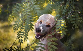 Picture look, face, leaves, light, branches, nature, portrait, dog, poodle