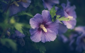 Picture flower, lilac, hibiscus