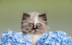 Picture cat, look, flowers, kitty, portrait, blue, kitty, face, miracle, hydrangea, blue-eyed, Persian, extreme