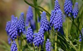 Picture flowers, background, spring, Muscari