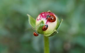 Picture flower, macro, insects, background, ladybug, Bud, bugs, three, trio, green background, ladybugs, bokeh, Trinity, bugs
